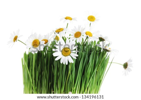 Fresh daisies on white background. Summer flower - stock photo