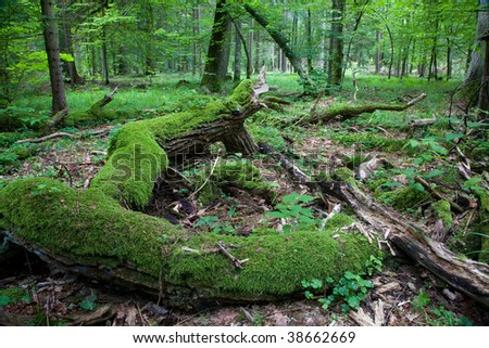 Fresh deciduous stand of Bialowieza Forest in springtime with dead broken oak in foreground - stock photo