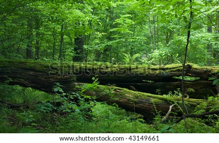 Fresh deciduous stand of Bialowieza Forest in springtime with dead broken oak in foreground, moss and herb  wrapped - stock photo