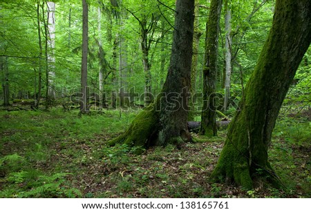 Fresh deciduous stand of Bialowieza Forest in springtime with moss wrapped hornbeams in foreground - stock photo