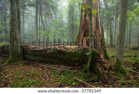 Fresh deciduous stand of Bialowieza Forest in summer with broken old oak and misty mixed forest in background - stock photo
