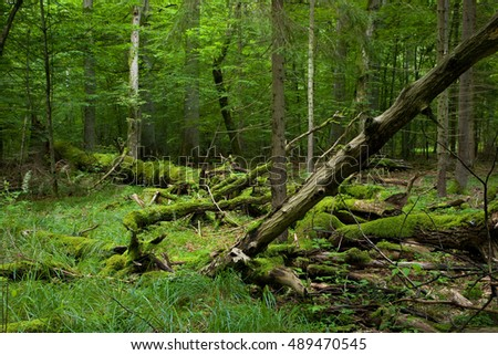 Fresh deciduous stand of Bialowieza Forest in summer with dead broken oak in foreground