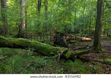 Fresh deciduous stand of Bialowieza Forest in summertime with dead broken hornbeam in foreground moss wrapped - stock photo