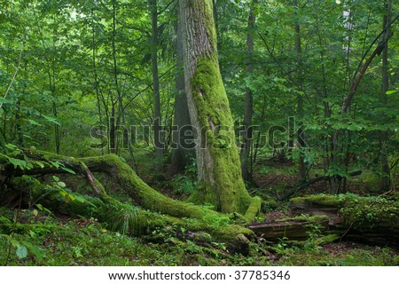 Fresh deciduous stand of Bialowieza Forest in summertime with dead broken oak in foreground moss wrapped - stock photo