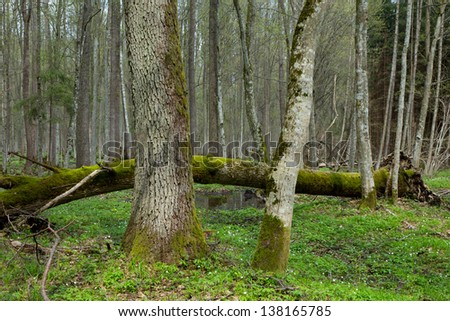 Fresh deciduous stand of Bialowieza Forest with old alder tree in foreground and broken one in background - stock photo