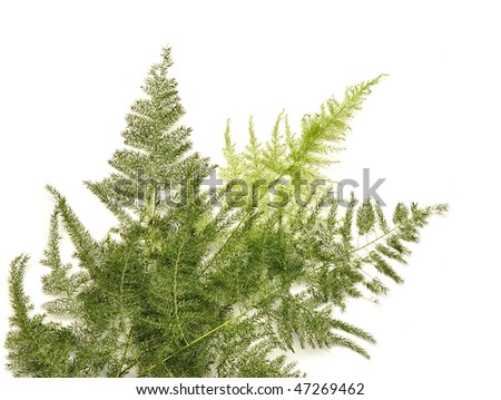 Fresh Delicate Fern For Background