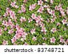 fresh detailed background of blossom azalea (rhododendron) bushes - stock photo