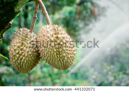 Fresh durian on tree and crops spraying fertilizer background. - Durians are the king of fruits and can be grown in the right conditions, durian tree is ultra-tropical. - stock photo