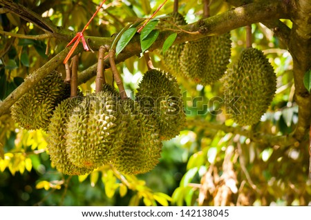 Fresh durian on tree in the orchard at Thailand - stock photo