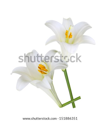 Fresh Easter Lily flowers isolated on white background - stock photo