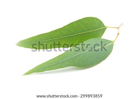 fresh Eucalyptus leaves isolated on white background - stock photo