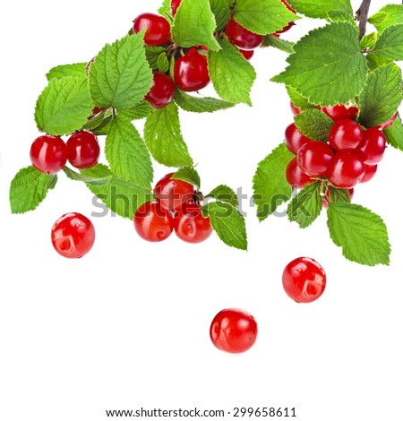 Fresh felt cherries on a green branch  isolated on white background - stock photo