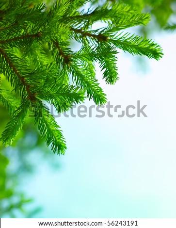 Fresh fir branch in sunshine. - stock photo
