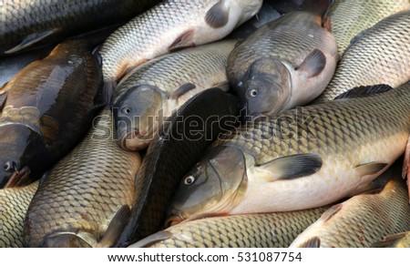 Carp Fishes | Fresh Fish Carp Catch Carp Fishes Stock Photo Royalty Free
