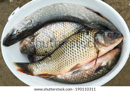 Fresh fish pike and carp in a white bucket