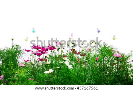 Fresh flowers and green grass on white background, Pink cosmos flowers - stock photo