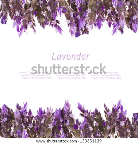 Fresh  flowers of lavender isolated on white background  with sample text - stock photo