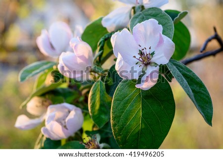 Fresh flowers of quince - stock photo