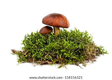 fresh forest mushroom in a green moss - stock photo