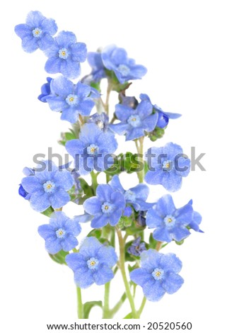Fresh forget me not flower isolated on white - stock photo