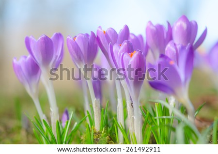 Fresh fragile beautiful first spring crocus blossoming pastel flowers on sunlit Alpine glade. Stock photo with soft focus shallow DOF and free copy-space place for your text. - stock photo