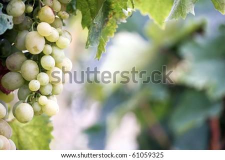 Fresh fruits in vineyards - grape macro shoot - stock photo