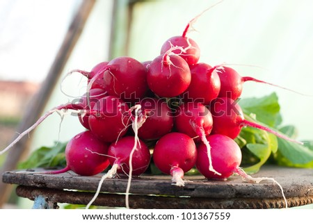Fresh  garden radishes - stock photo
