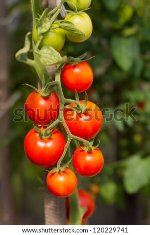 Fresh garden tomatoes ready for picking - stock photo