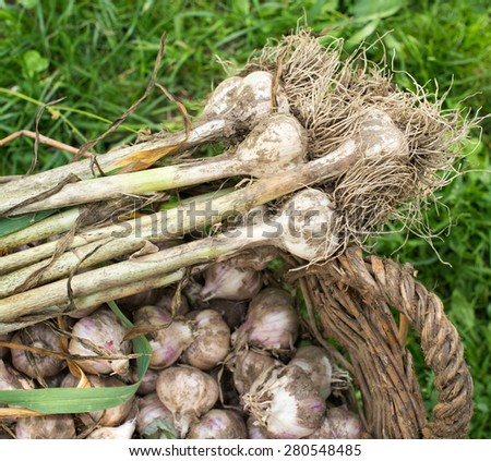 Fresh garlic in the wicker basket on the green grass - stock photo