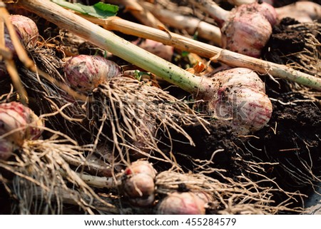 Fresh garlic with roots from the garden background. - stock photo