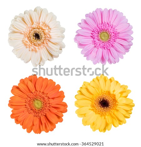 Fresh Gerbera flower isolated on white background, beautiful flowers
