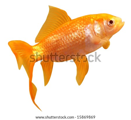 Fresh gold fish isolated on white background with clipping path included