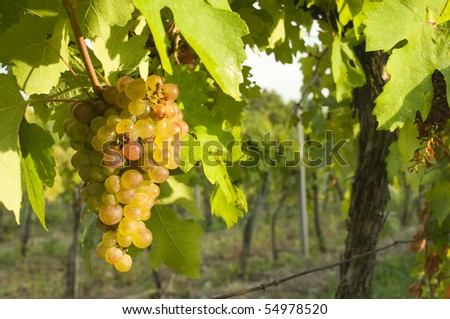 Fresh grapes ready for harvest - stock photo