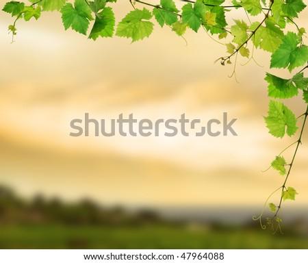 Fresh grapevine on background of sunset vineyard - stock photo