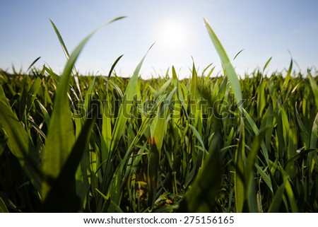 fresh grass against blue sky with clouds
