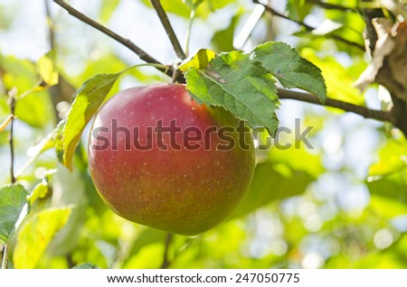 Fresh gravenstein apples from an orchard on Sauvie Island Oregon - stock photo