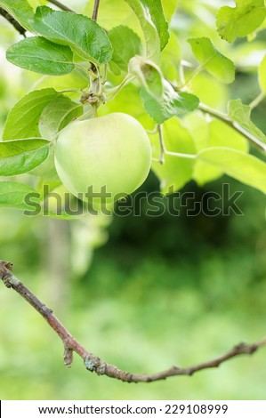 Fresh green apple hanging on a tree - stock photo