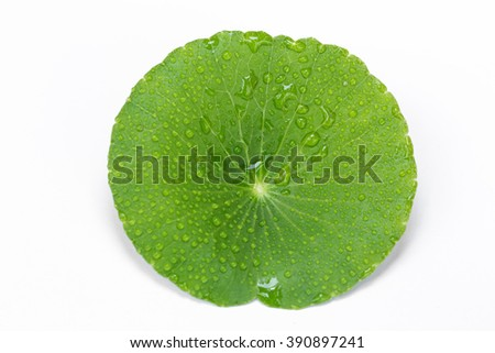 Fresh Green Asiatic pennywort ?(Indian pennywort,Gotu kola) on white background - stock photo