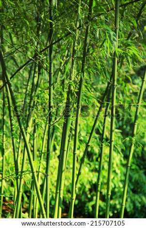 fresh green bamboo forest, tropical plant - stock photo