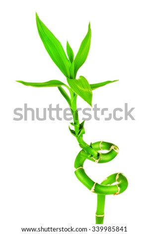 fresh green bamboo sprout, isolated on white background - stock photo