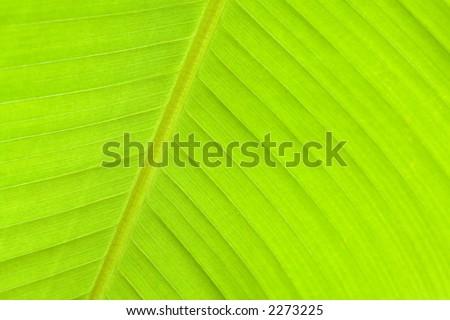 Fresh green banana leaf. - stock photo