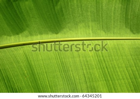 Fresh green banana leaf - stock photo