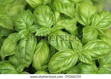Fresh green basil close-up - stock photo