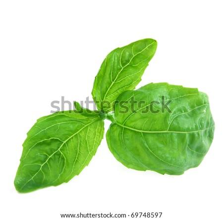 Fresh green basil leaf isolated on white background - stock photo