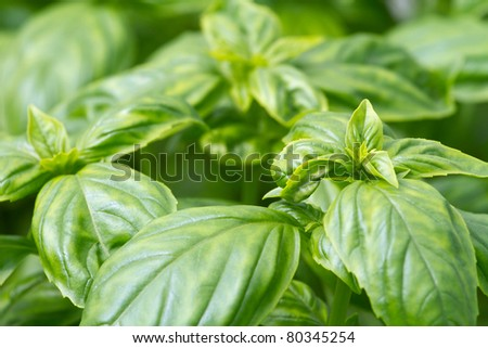 Fresh green basil leaves close-up - stock photo