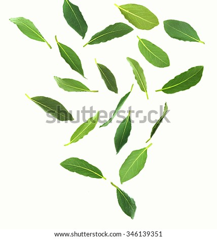 Fresh green bay leaves, isolated on white - stock photo