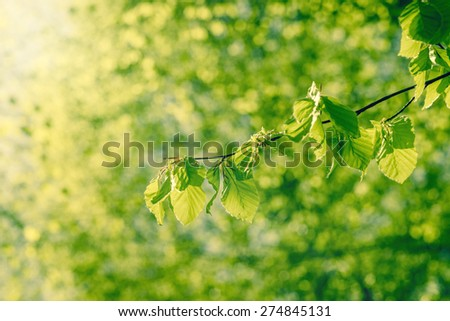 Fresh green beech leaves in sunshine at spring - stock photo