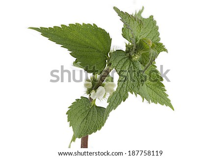 Fresh green blossoming nettle isolated on white