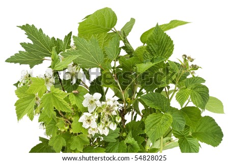Fresh green branches of a blackberry with flowers, currant, raspberry and bug. Isolated on white.