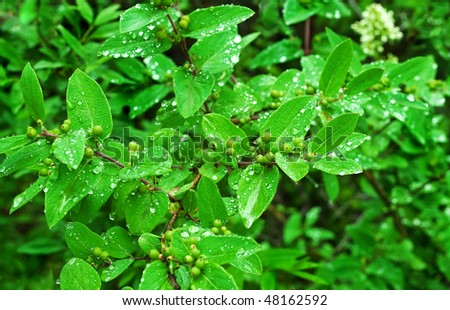Fresh green bush leaves with water drops after rain - stock photo